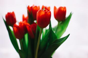 Photo of Orange Tulips