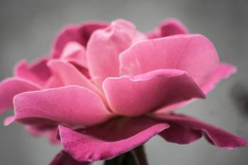 Photo of Pink Petal Flower