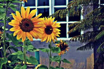 Photo of Three Sunflowers Near Window