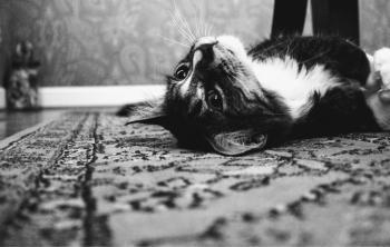 Photo of Tuxedo Cat Laying on Rug