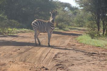 Photo of Zebra on Dirt Road
