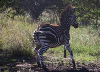 Photography of a Zebra Running