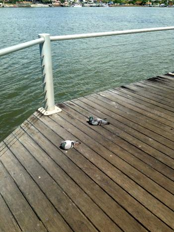 Pigeons on wooden jetty