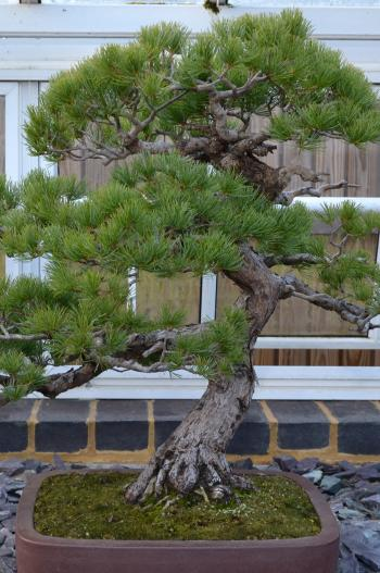 Pine bonsai tree