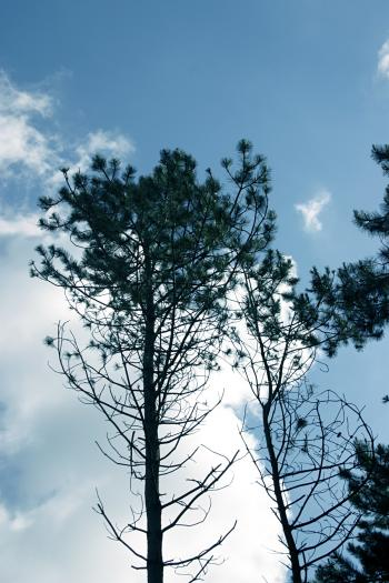 Pine trees against the sky