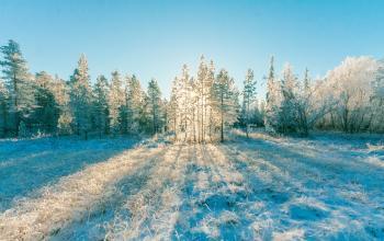 Pine Trees Under Blue Sky