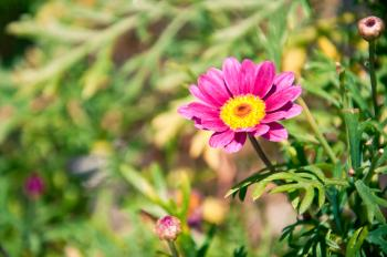 Pink Chamomile