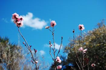 Pink Cherry Blossom Stalks