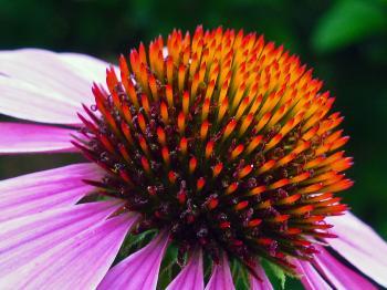 Pink coneflower closeup