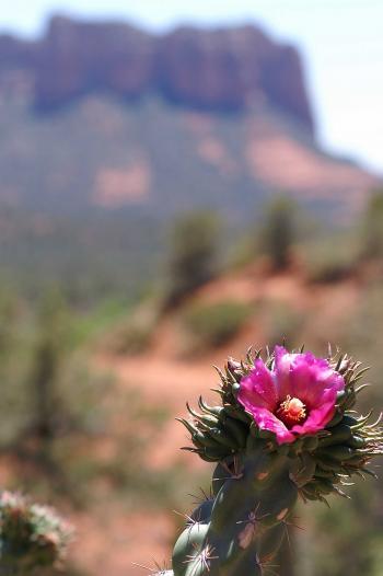 Pink flower in the desert