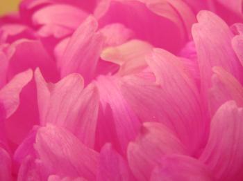 Pink flower pedals