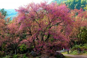 Pink Flowering Tree Beside Road At Daytime