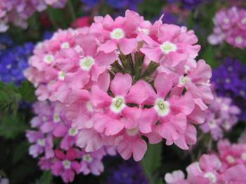 Pink flowers close-up