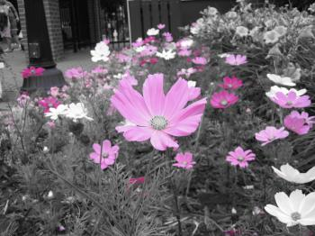 Pink Flowers on Black and White Backgrou