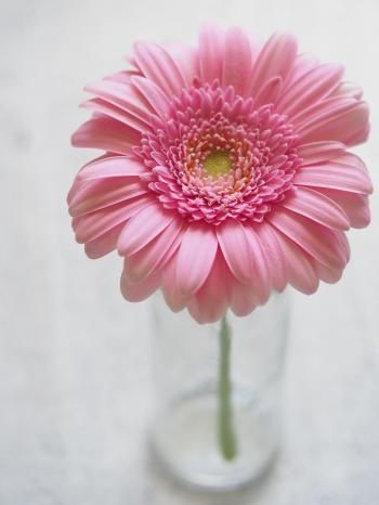 Pink Gerbera Flower in Closeup Photography