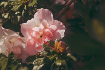 Pink Peony Flowers in Bloom at Daytime