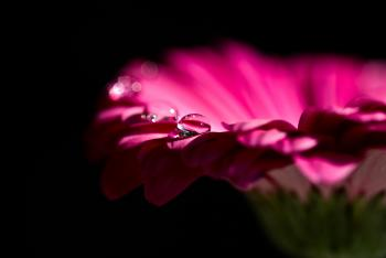 Pink Petal Flower and Dew Drops on Top