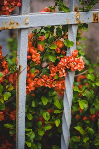 Pink Petaled Flowers Behind White Metal Fence