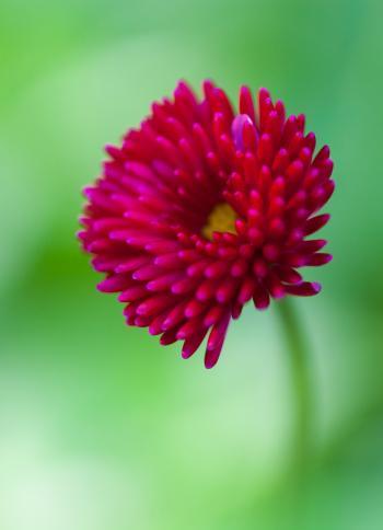 Pink Poppy Flower