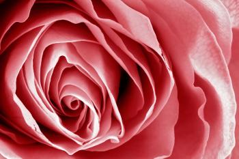 Pink Rose Macro - HDR