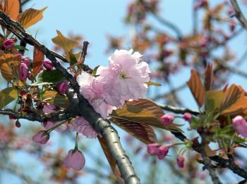 Pink white cherry blossom flower