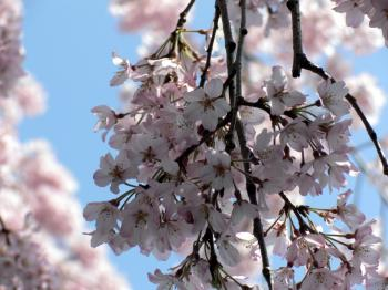 Pink white cherry blossom flowers
