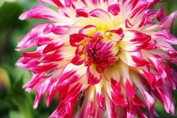 Pink Yellow White Flower