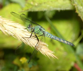 PONDHAWK, WESTERN (Erythemis collocata) (6-17-2014) 1 mile east of fork of salmon, siskiyou co, ca -01