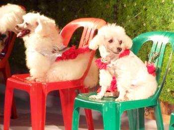 Poodle Dog Show