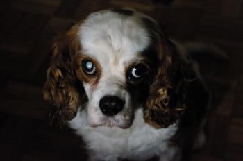 Portrait of a king charles dog