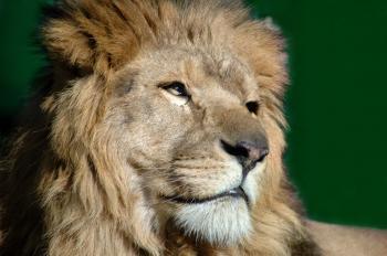 Portrait of a Lion, Lion green background