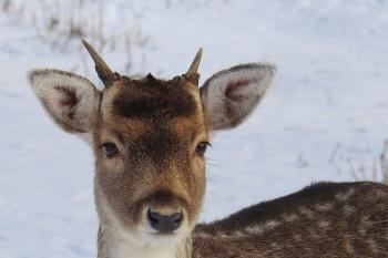 Portrait of Deer on Snow