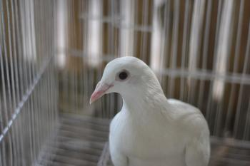 Portrait of White Pigeon