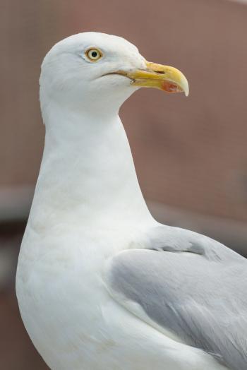 Portraitof seagull