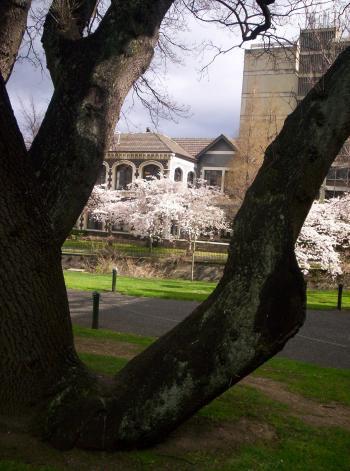Prunus floresence