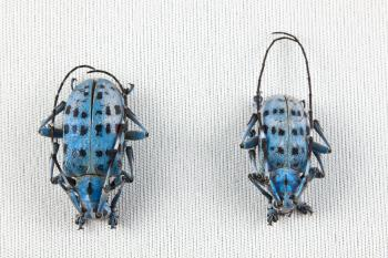 Pseudomyagrus Waterhousei Beetles