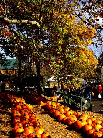 Pumpkin Patch Row with Tree