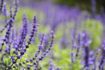 Purple Cluster Flower Photo