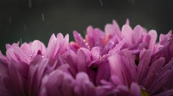 Purple Flower With Rain Drops