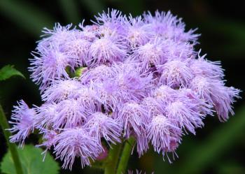Purple Fuzzy Flowers