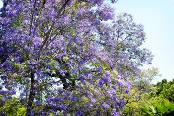 Purple Leaf Tree