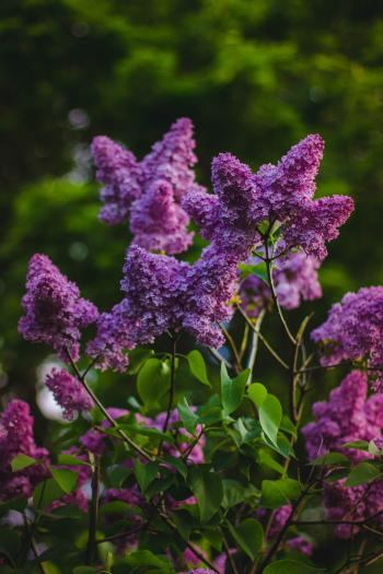 Purple Petaled Flower Fucos