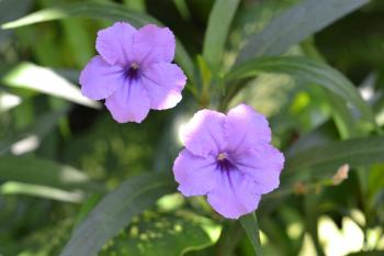 Purple trumpet flowers