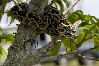 Python on the Tree
