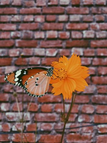 Queen Butterfly on Orange Petaled Flowers