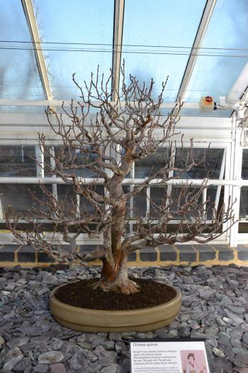 Quince bonsai tree