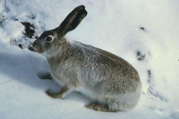 Rabbit in the Snow