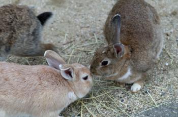 Rabbits in Okuno Island
