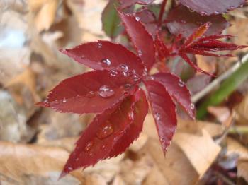 Rain drops on rose leafs