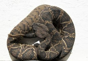 Rattlesnake Closeup
